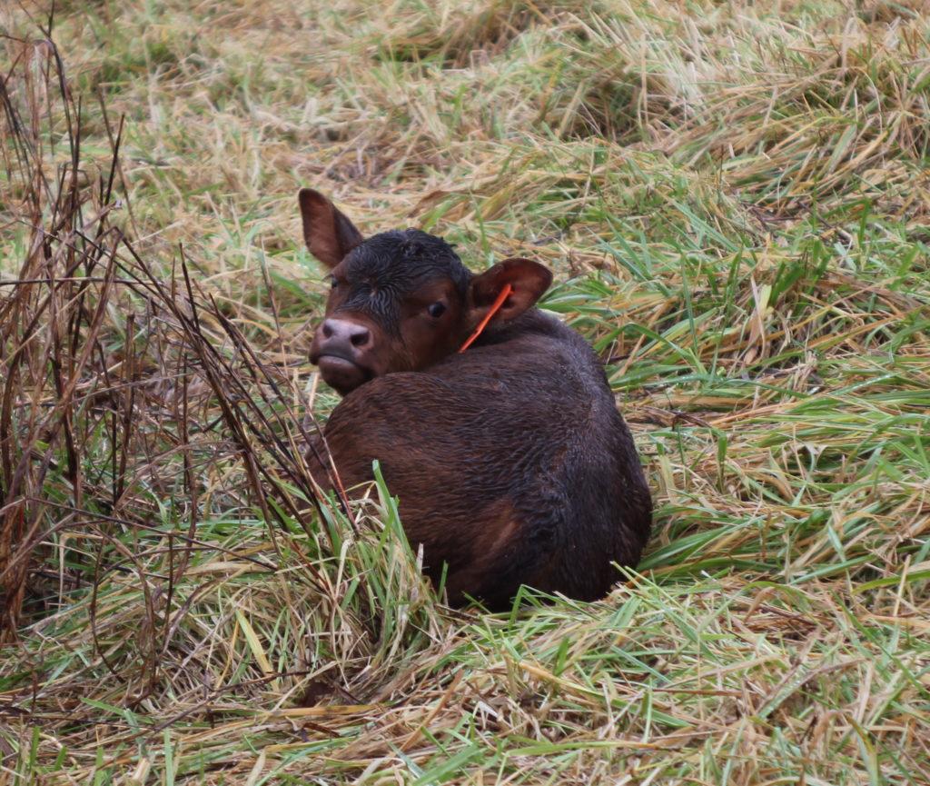 BTE newborn calf
